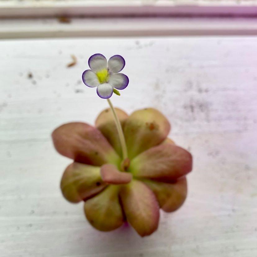 agnata x zecheri flower.jpg