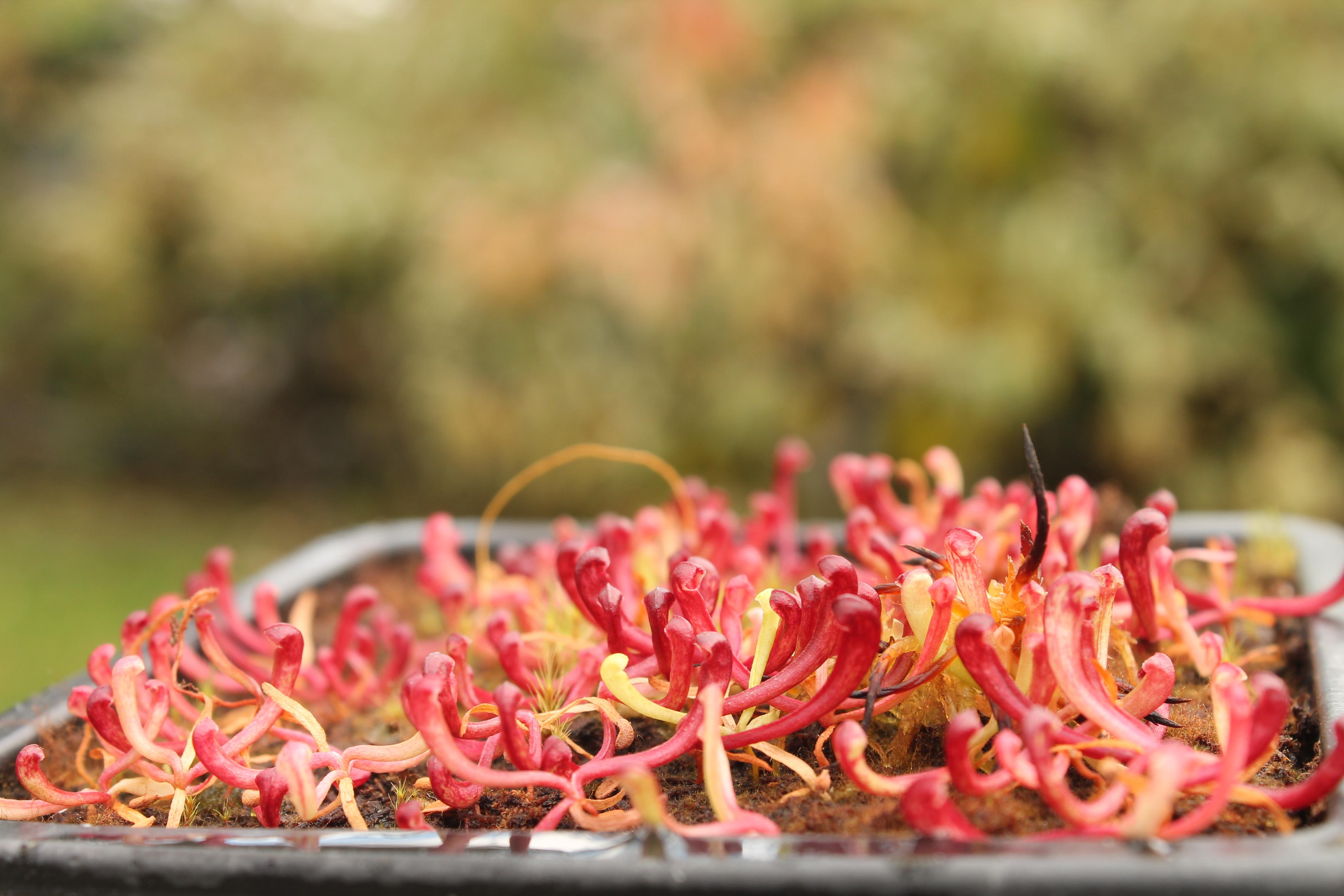 S. purpurea ssp. venosa var. montana McClures Bog, NC (CPS Seed)2.JPG